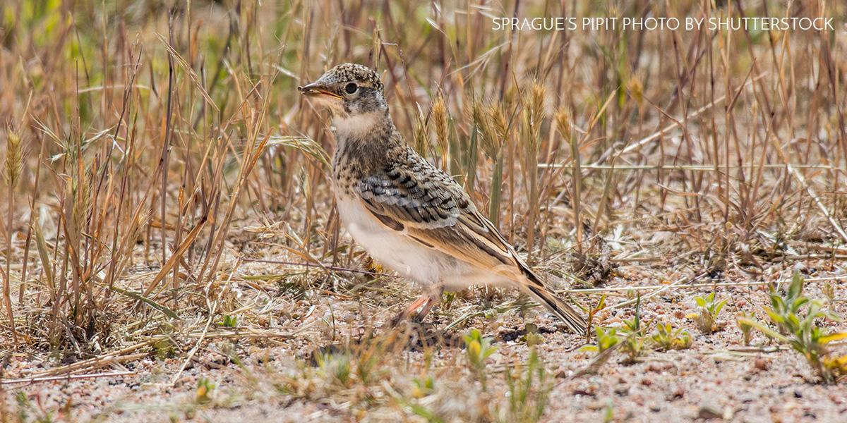 Pipts in the Potholes: Birding in North Dakota