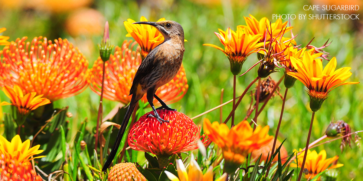 Cape Sugarbird photo by Shutterstock