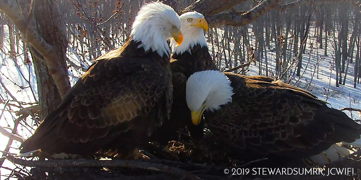 Bald Eagle Trio Paired for Life?