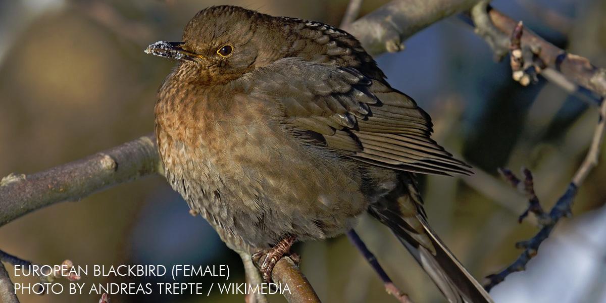 European blackbird (Turdus merula)