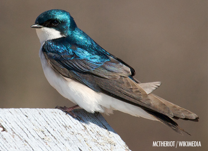 Mystery Swallow #2