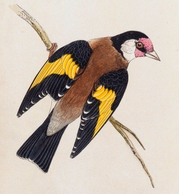 Goldfinch from The History of British Birds by Rev F.O.Morris, 1864