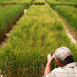 Auburn barley research