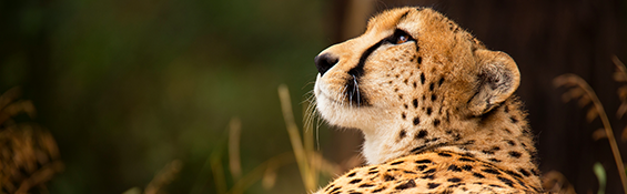 Cheetah Looking Up. Cheetah Learning: Project Management Career Builder