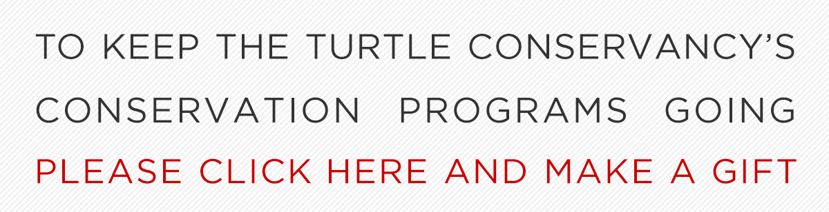 To keep the Turtle Conservancy's conservation programs going, please click here and make a gift