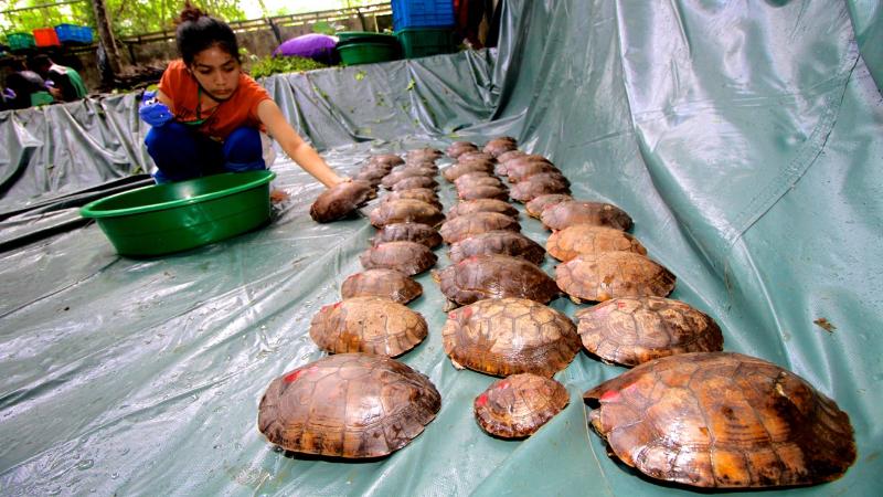 Philippine Forest Turtles