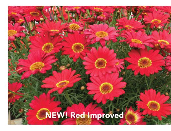 Suntory Grandaisy Red Improved