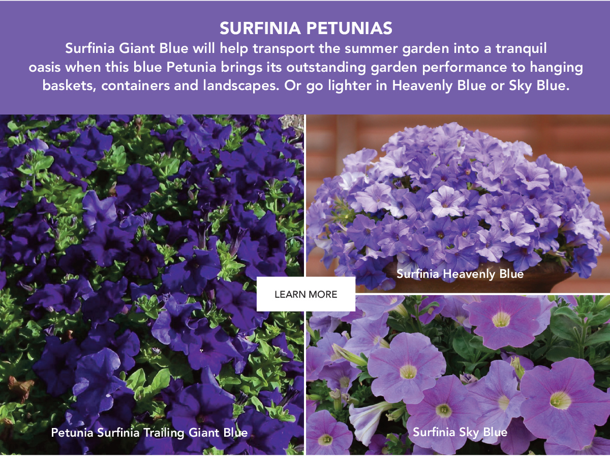 SURFINIA PETUNIAS. Surfinia Giant Blue will help transport the summer garden into a tranquil oasis when this blue Petunia brings its outstanding garden performance to hanging baskets, containers and landscapes.