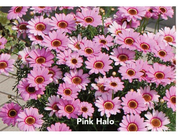 Suntory Grandaisy Pink Halo