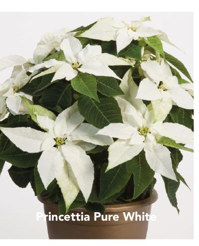 Princettia White