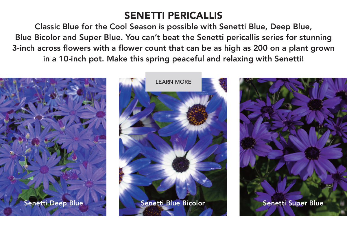 Classic Blue for the Cool Season is possible with Senetti Blue, Deep Blue, Blue Bicolor and Super Blue.