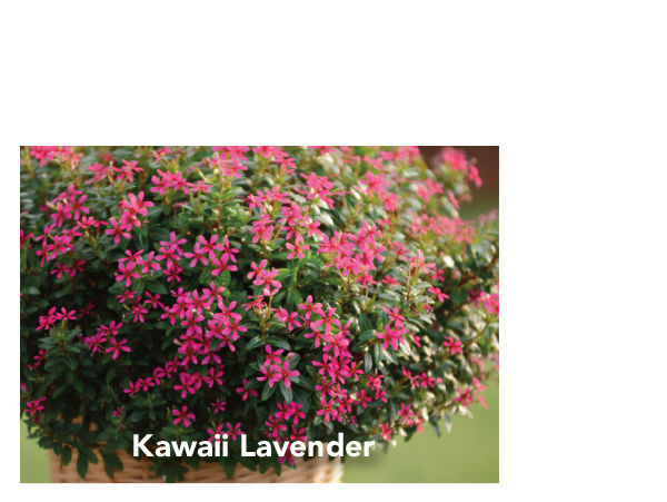 Kawaii Lavender