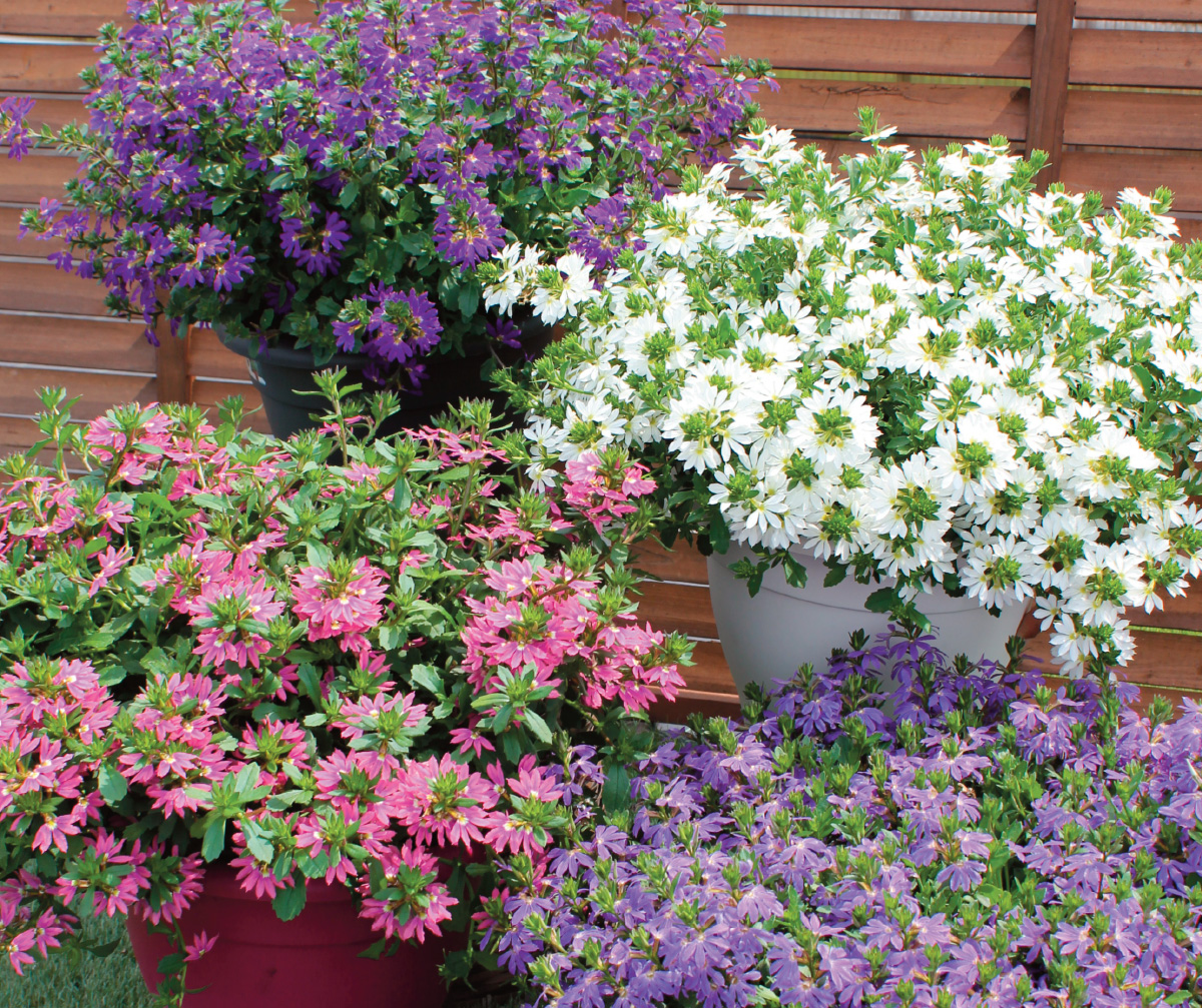 Beautiful in beds and containers, they make a great filler in combination plantings.