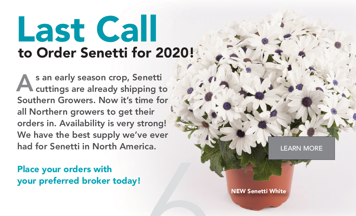 As an early season crop, Senetti cuttings are already shipping to Southern Growers. Now it's time for all Northern growers to get their orders in. Availability is very strong! We have the best supply we've ever had for Senetti in North America. Place your orders with your preferred broker today!