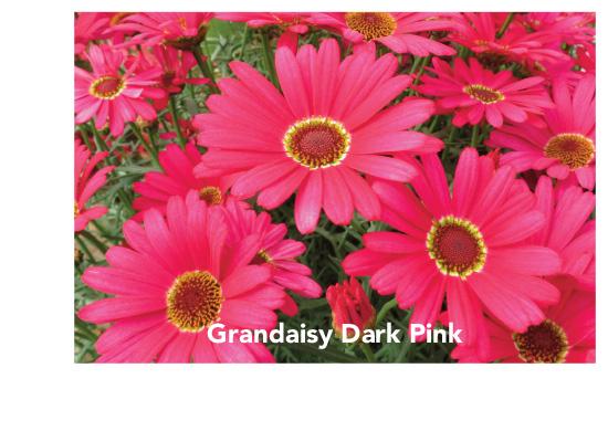 Suntory Grandaisy Dark Pink