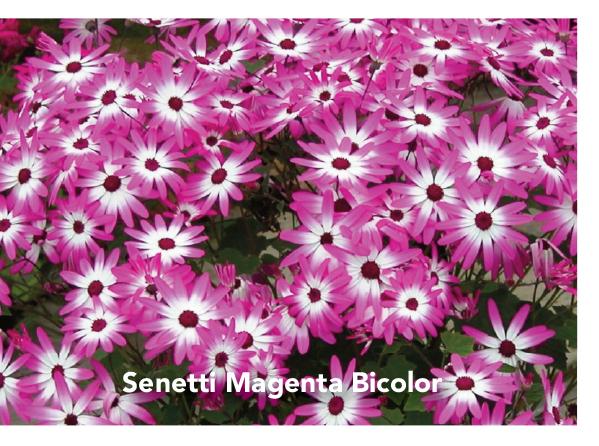 Senneti Magenta Bicolor