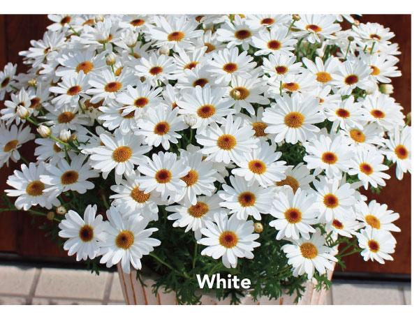 Suntory Grandaisy White