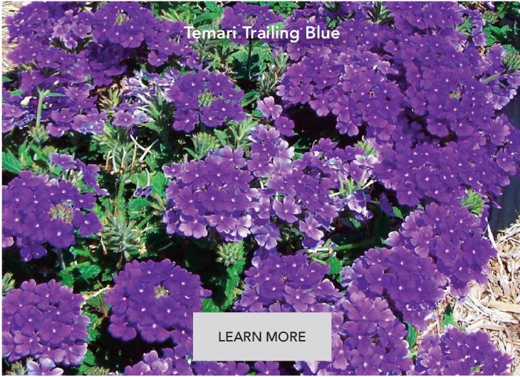 Verbena Temari Trailing Blue