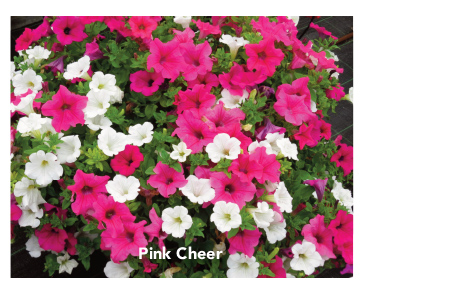 Surfinia Pink Cheer
