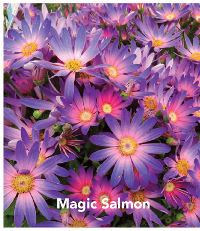 Senetti Magic Salmon