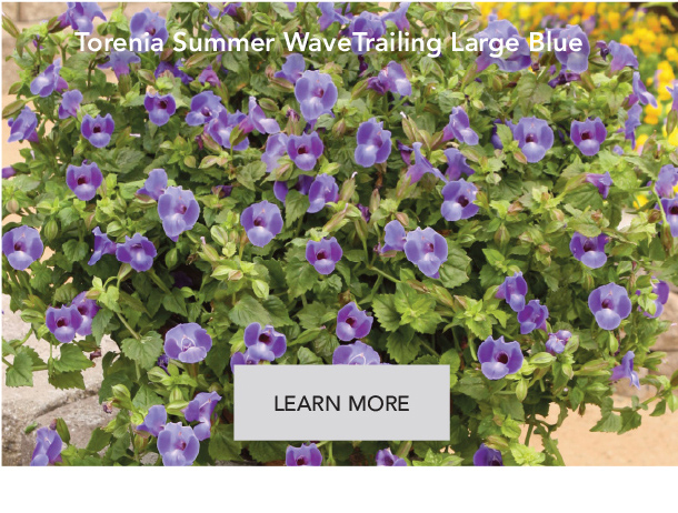 Torenia Trailing Large Blue