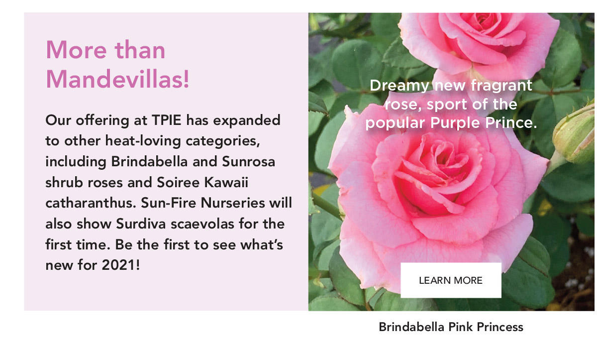 Dreamy new fragrant rose, sport of the popular Purple Prince.