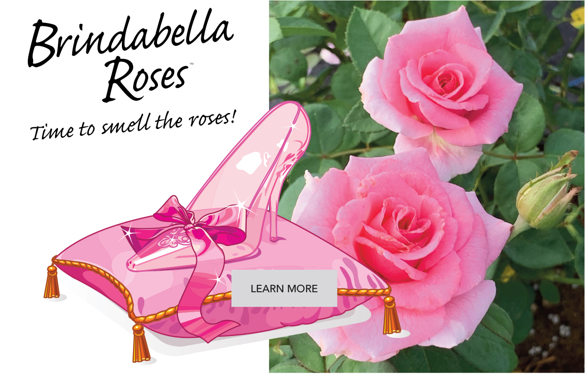We kick off 2020 with a lovely introduction in the fragrant Brindabella Roses line - Pink Princess.