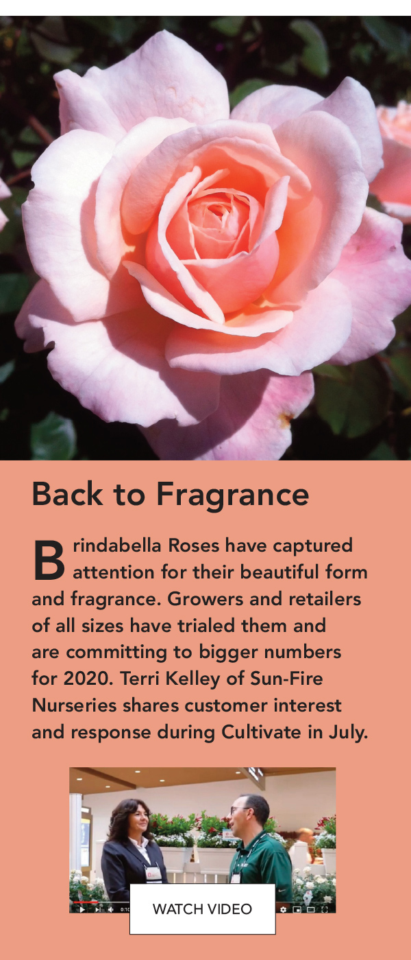 Brindabella Roses have captured attention for their beautiful form and fragrance.