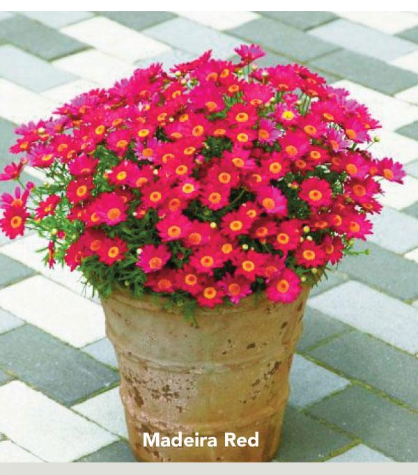 Suntory Flowers Madeira Red