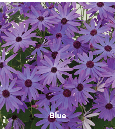 Senetti Blue