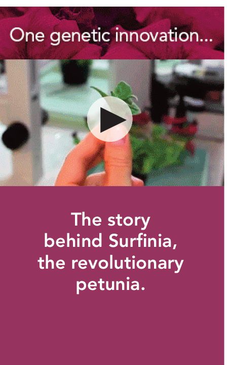 ONE GENETIC INNOVATION: The story behind Surfinia, the revolutionary petunia.