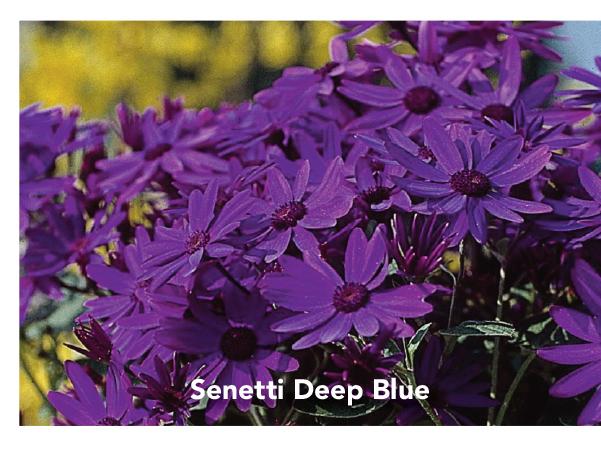 Senetti Deep Blue