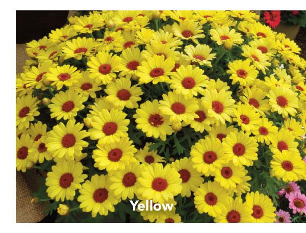 Suntory Grandaisy Yellow