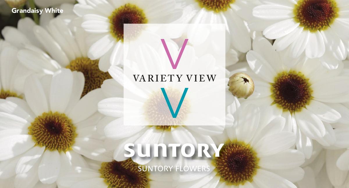 Suntory Variety View - Grandaisy White