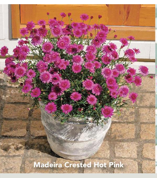 Suntory Flowers Madeira Crested Hot Pink