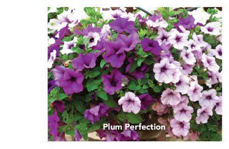 Surfinia Plum Perfection