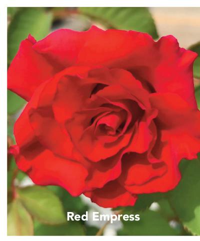 Brindabella Red Empress