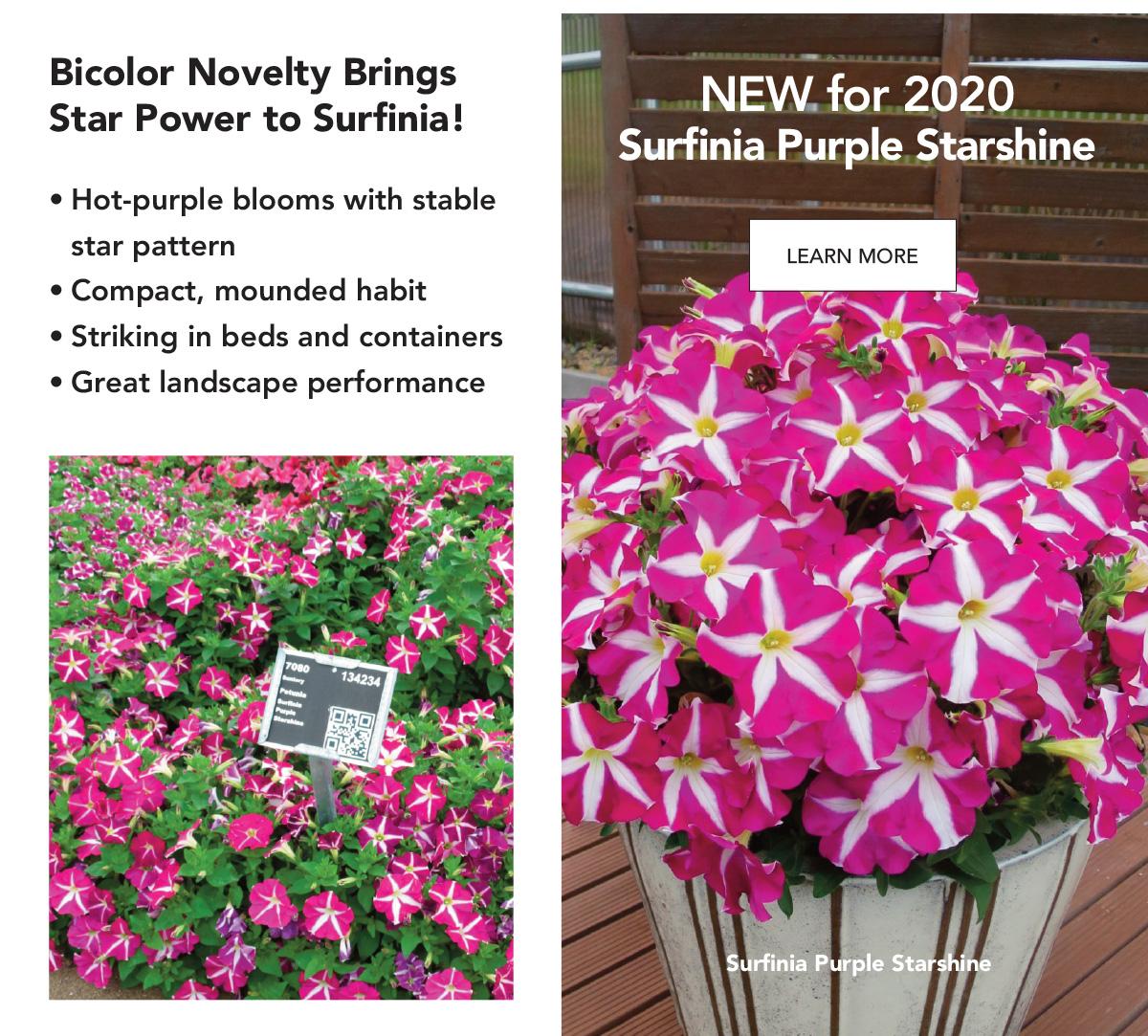 Suntory Flowers Variety View - Surfinia Purple Starshine