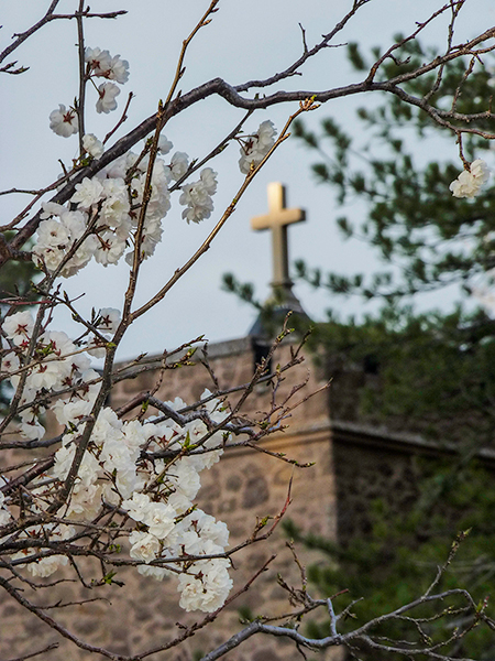 Photograph of St. Albert's through blossoming trees