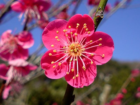 Ume Plum Flower