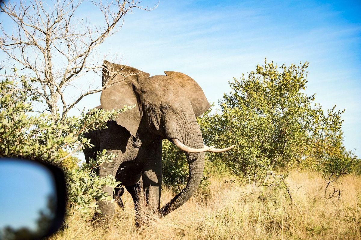 Elefant Kruger-Nationalpark