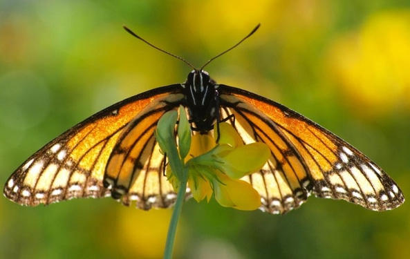 Monarch Butterfly - Colin Marcano