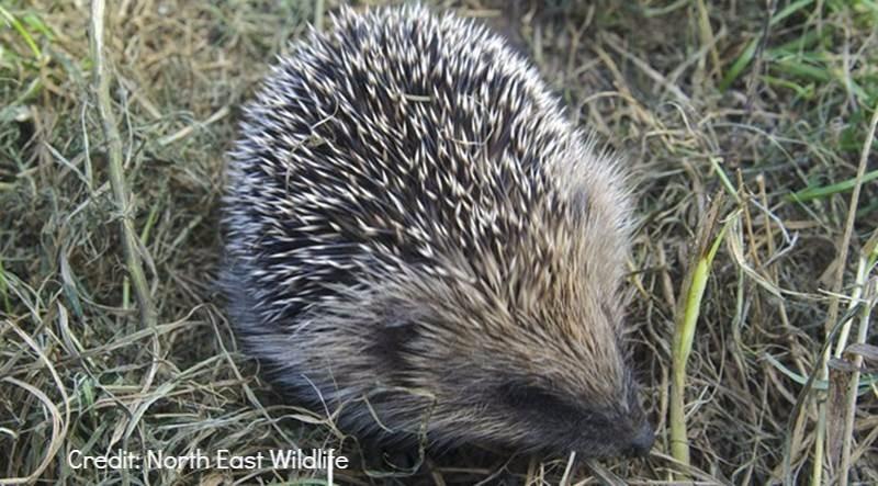 Hedgehog Credit North East Wildlife