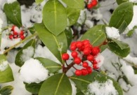 """""""Snow Holly"""" by Claire Louise"""