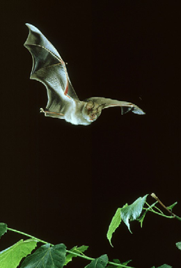 Greater Horseshoe Bat Copyright OSP June08