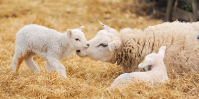 Lambing Sunday is a spring family treat: see the new lambs – and maybe witness one being born / Sun Mar 19