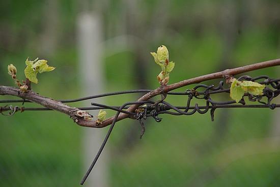 Budbreak Banshee Wines Update