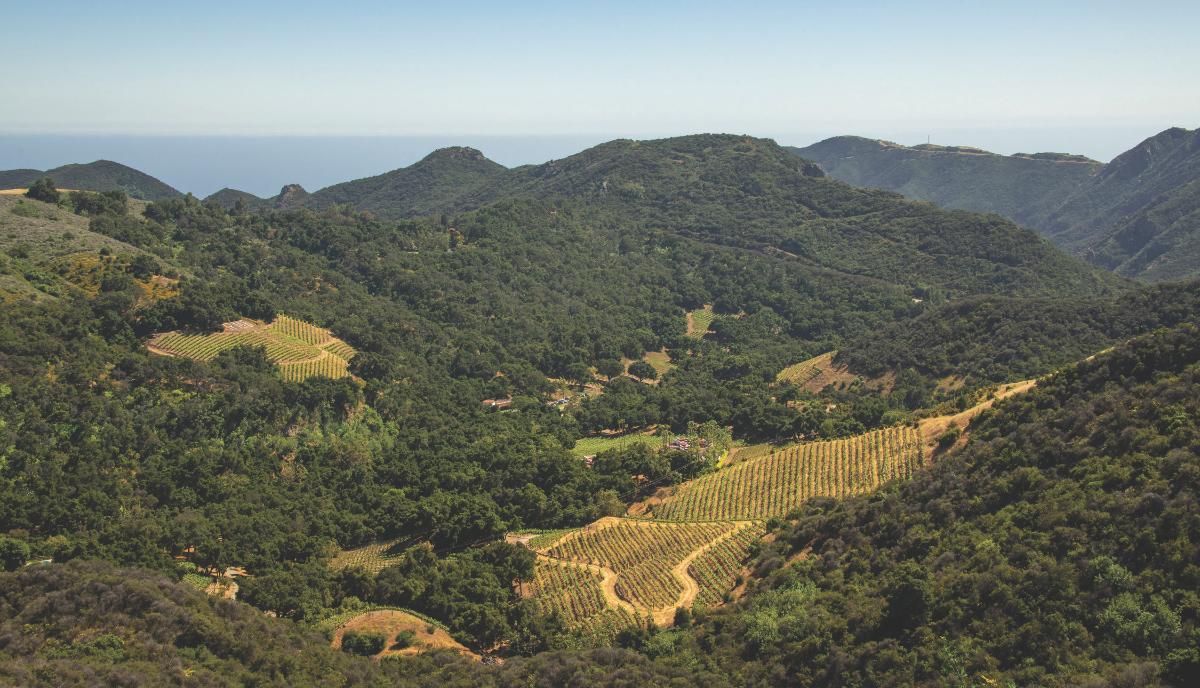 hillside vineyard of Rosenthal Malibu Estate
