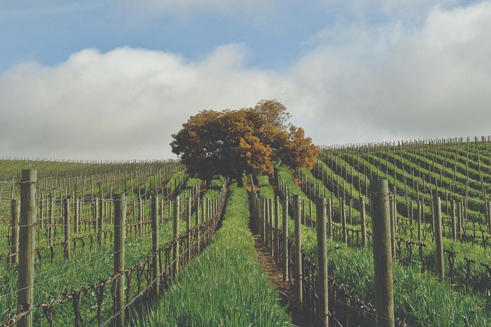 Domaine Carneros cover-cropped vineyard in winter.