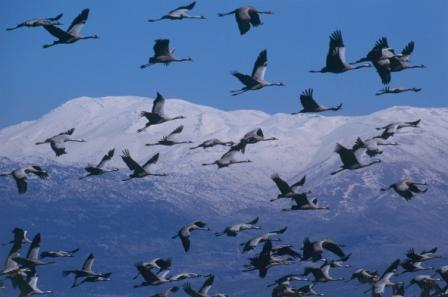Common Cranes © Dror Galili